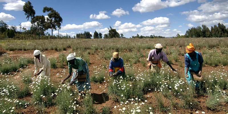 Women harvesting Pyrethrum flowers. Kenya. 2006. Photo Credit: Sven Torfinn ©Panos